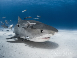 This beautiful female tiger shark is pretty much a celebr... by Debbie Wallace