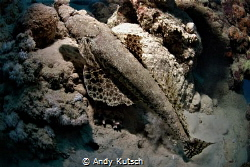 crocodile fish resting on the reef by Andy Kutsch