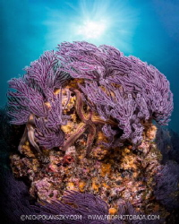 Beautifully coloured soft corals of El Bajito, La Paz by Nick Polanszky