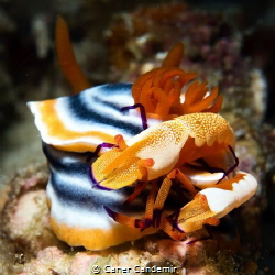 Nudibranch and two emperor Shrimp by Caner Candemir