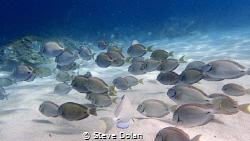 """Peaceful"". School of Tangs right near the shore at Coki ... by Steve Dolan"