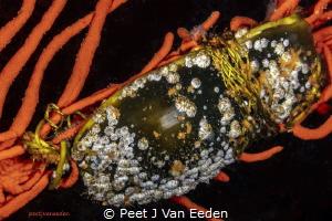 Shark Egg attached to a Sinuous Fan. by Peet J Van Eeden