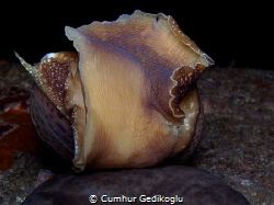 Notocochlis tigrina Tiger Moon Snail by Cumhur Gedikoglu