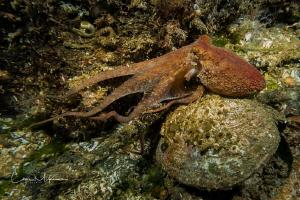 Red Octopus in Puget Sound by Chris Mckenna