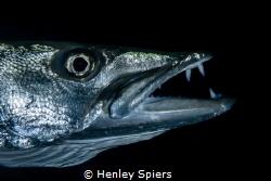 Barracuda Yawn by Henley Spiers
