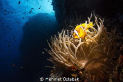 South Red Sea / anemone fish by Mehmet Öztabak