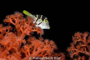 Spotted puffer. by Mehmet Salih Bilal
