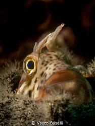 Blenny in a an empty blanus shell. by Vasco Baselli