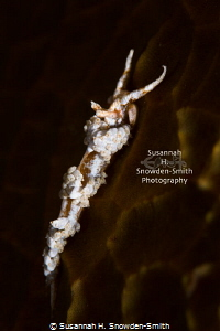 """Night Crawler"" - A nudibranch (Dondice occidentalis) cra... by Susannah H. Snowden-Smith"
