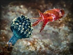 squid by Marc Van Den Broeck