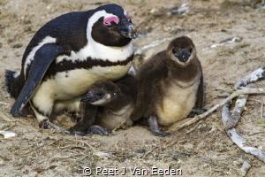 The Nursery  Penguin colony at the Boulders, Cape Penin... by Peet J Van Eeden