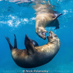 Brown Californian Sea Lions by Nick Polanszky