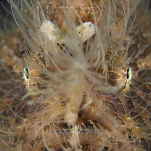 Hairy Frog fish close up portrait by Philippe Eggert