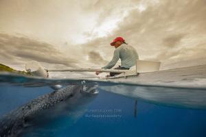 Whale Shark and Feeder by Wayne Jones