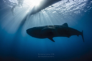 Whale Shark with Sunburst by Wayne Jones