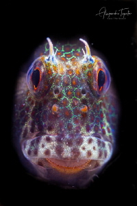 Blenny close up, La Paz Mexico by Alejandro Topete