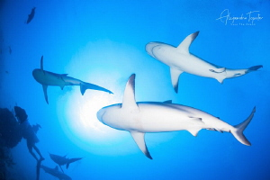 Sharks Bellies, Gardens Of The Queen, Cuba by Alejandro Topete