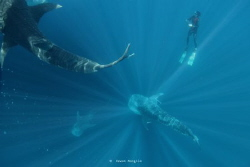 Snorkeling with whale shark by Wawan Mangile