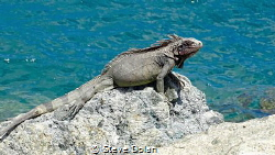 Rock Iguana taking a break from the surf in St. Thomas by Steve Dolan