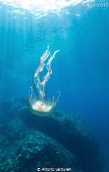 jellyfish by Antonio Venturelli