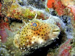 Bridled Burrfish from Grand Cayman. With Burrfish the spi... by Brian Mayes