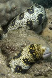 Snowflake Moray at Shark's Cove, Haliewa, HI. by Dale Stevick
