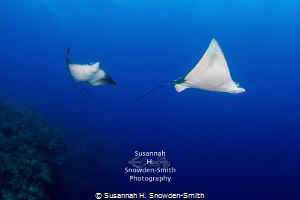 """""""Eagle Ray Ballet"""" - Two eagle rays glide just off the No... by Susannah H. Snowden-Smith"""