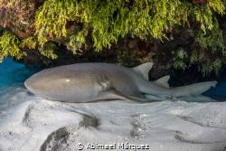 Nurse Shark, Cozumel by Abimael Márquez