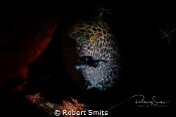 This honeycomb moray eel (Muraena melanotis) was being cl... by Robert Smits