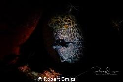 This honeycomb moray eel (Muraena melanotis) was being cl... by Robert Smits