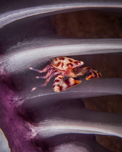 "Tiny crab nestled between the ""branches"" of a sea pen. by Glenn Ostle"