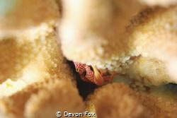 The Coral Guard Crabs (Trapezia flavopunctata) spend most... by Devon Fox