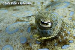 Peacock flounder eye, macro. These guys were abundant and... by Patrick Reardon