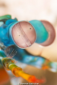 Mantis shrimp eyes. eyes