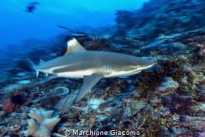 Fast shark. Nikon D800E , 17-35mm , two strobo. ISO200, ... by Marchione Giacomo