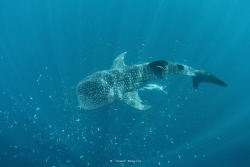 Whale Shark by Wawan Mangile
