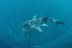 Whale Shark by Wawan Mangile