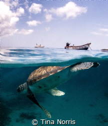 Snorkeling with a beautiful sea turtle during my surface ... by Tina Norris