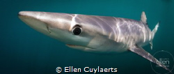 Blue Sharks around the UK coast are the most beautiful cr... by Ellen Cuylaerts