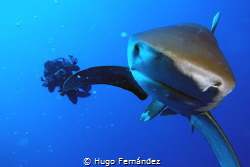 oceanic whitetip shark in Red Sea by Hugo Fernández