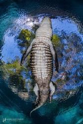 Casper's Window - Casper, a 3m American alligator, passin... by Hannes Klostermann