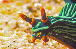 Nembrotha kubaryana at Anilao. by Laurie Slawson