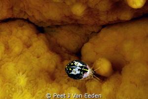 ladybird by Peet J Van Eeden