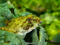 Gewone zeedonderpad, Myoxocephalus scorpius. Common in ou... by Eduard Bello