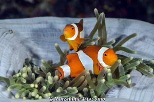 Clown fishes. Raja Ampat Nikon D800E , 105 mm, two strobo by Marchione Giacomo