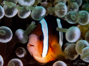 Anemonefish is her lightbulb anemone by Patricia Sinclair
