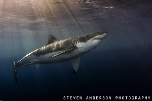 Great White approaches thru late afternoon sun Guadalupe off Mexico