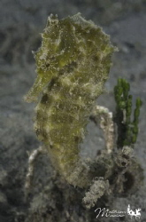 A nice sea horse find very close to de beach in Nouméa by Mathieu Macias