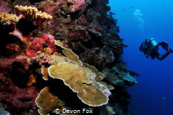 Wall Diver/ This image was taken off the coast of Tahiti,... by Devon Fox