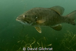This curious Bass greeted me as Inmade a descent. Good th... by David Gilchrist
